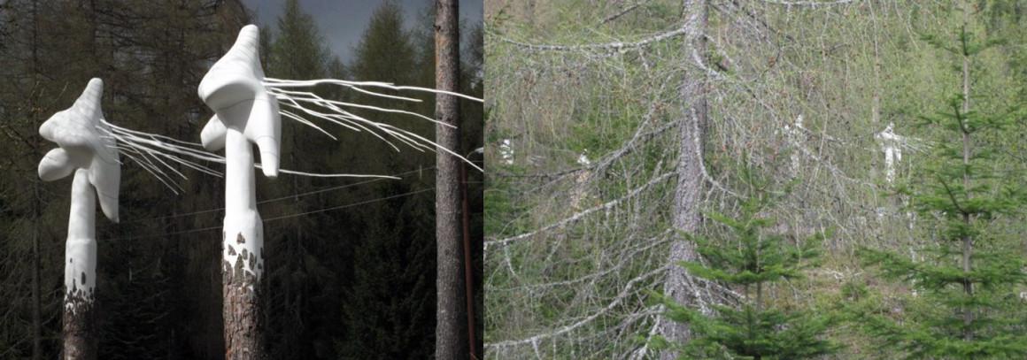 Pinus_Silvetris_Tore_Reisch_Bymarka-4